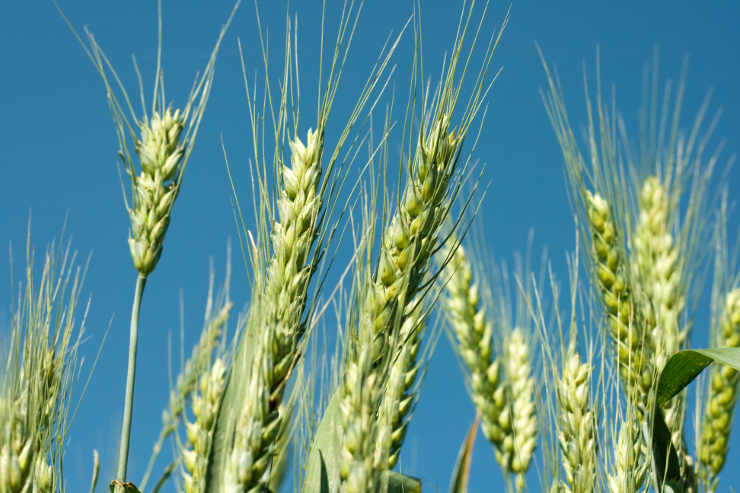 Green wheat under a blue sky