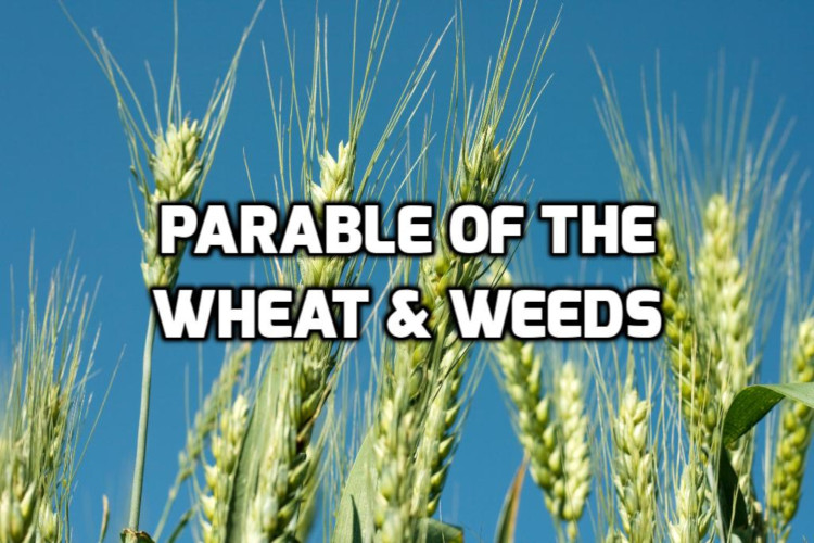 Parable of the Wheat & Weeds | WednesdayintheWord.com