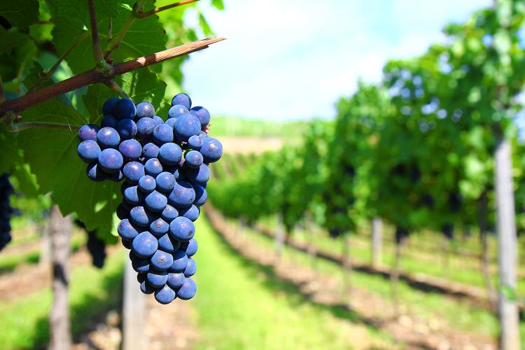 Grapes-740