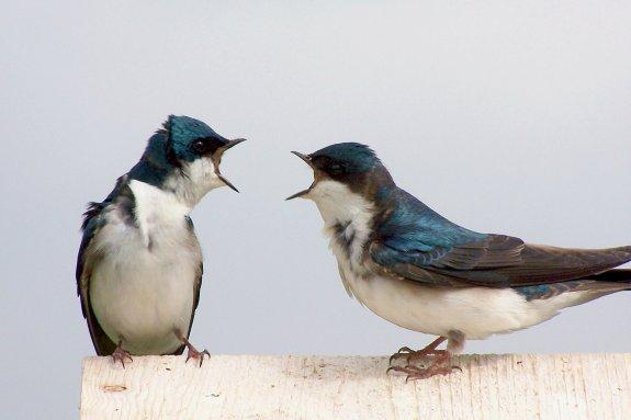 BickeringBirds